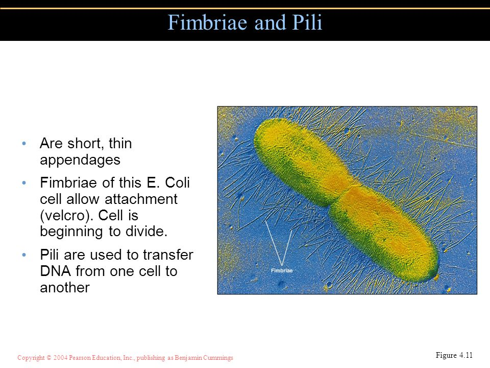 Fimbriae and Pili Are short, thin appendages