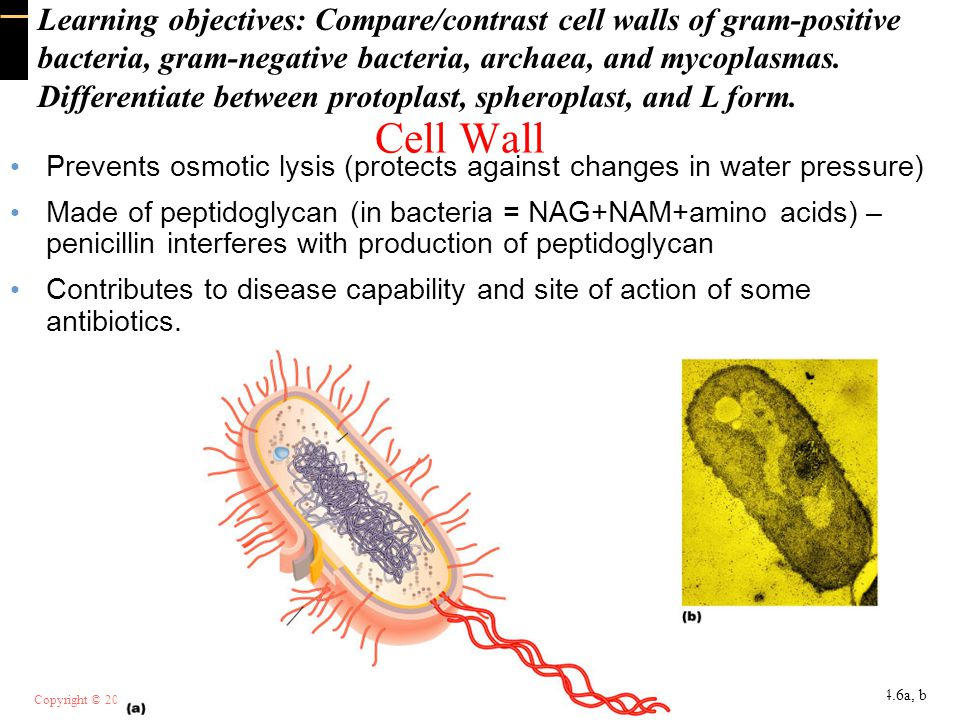 Learning objectives: Compare/contrast cell walls of gram-positive bacteria, gram-negative bacteria, archaea, and mycoplasmas.