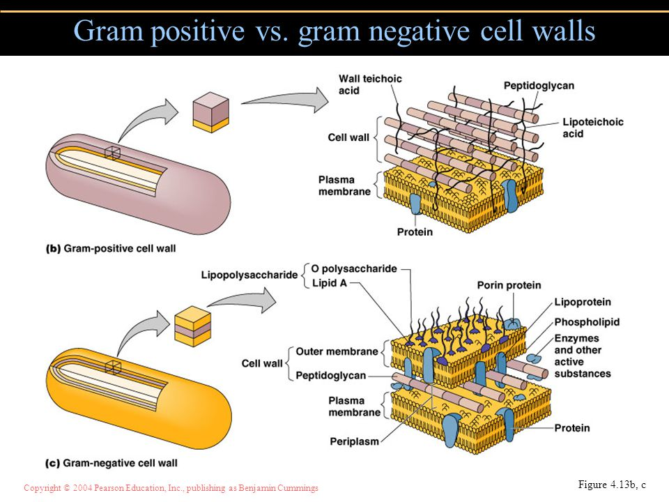 Gram positive vs. gram negative cell walls