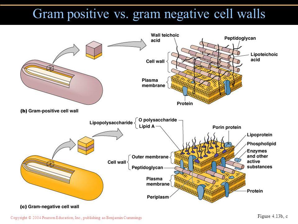 Gram positive vs. gram negative cell walls