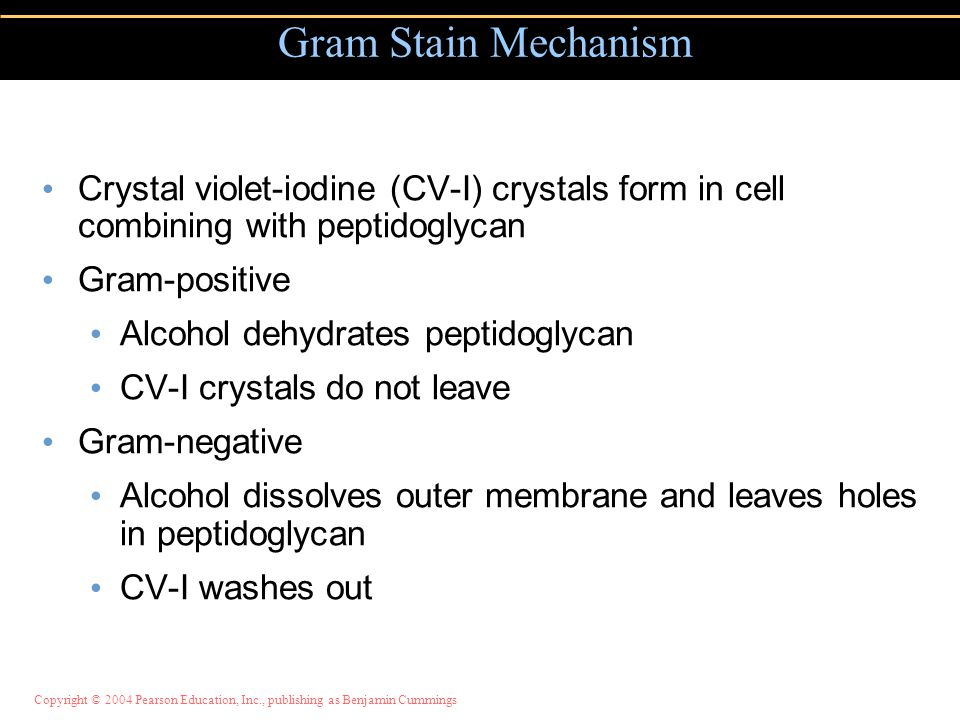Gram Stain Mechanism Crystal violet-iodine (CV-I) crystals form in cell combining with peptidoglycan.