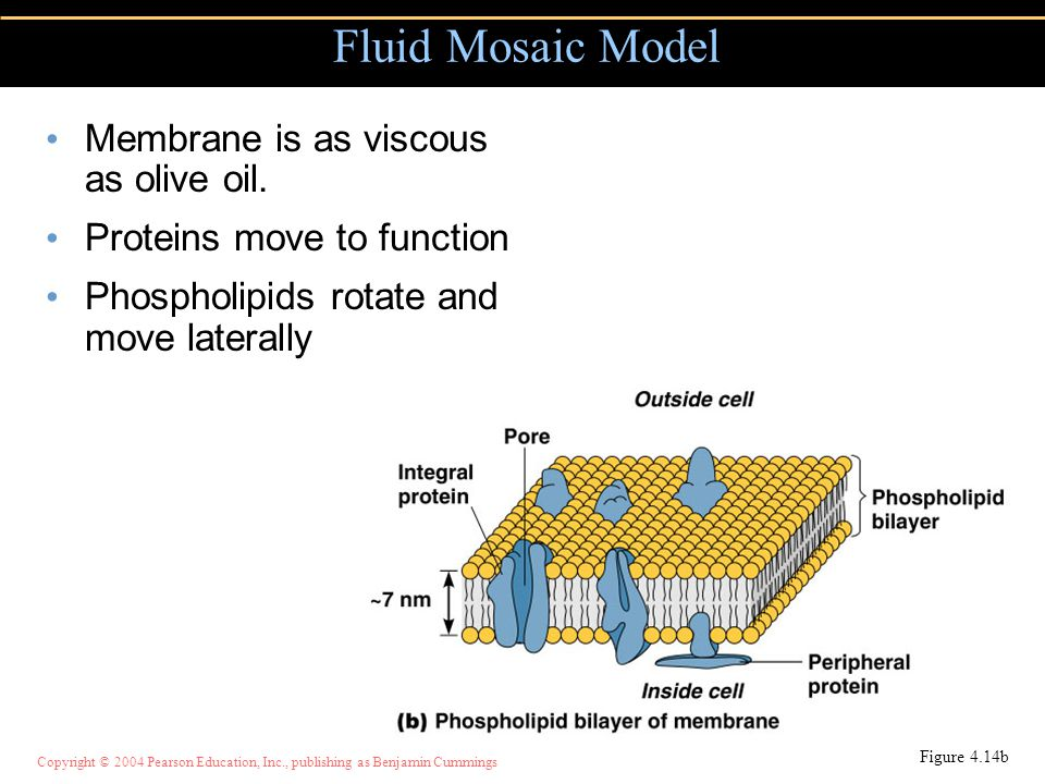 Fluid Mosaic Model Membrane is as viscous as olive oil.