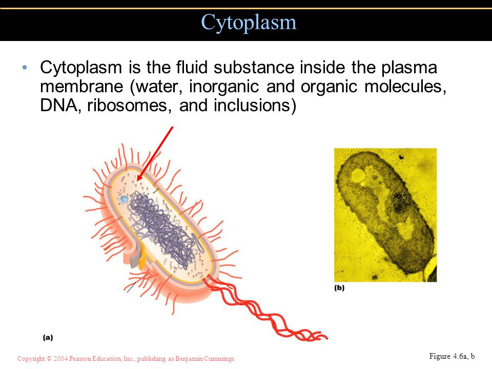 Cytoplasm Cytoplasm is the fluid substance inside the plasma membrane (water, inorganic and organic molecules, DNA, ribosomes, and inclusions)