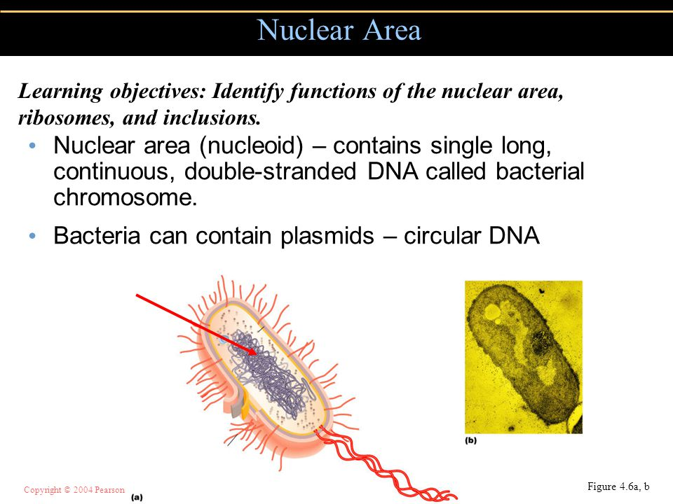 Nuclear Area Learning objectives: Identify functions of the nuclear area, ribosomes, and inclusions.