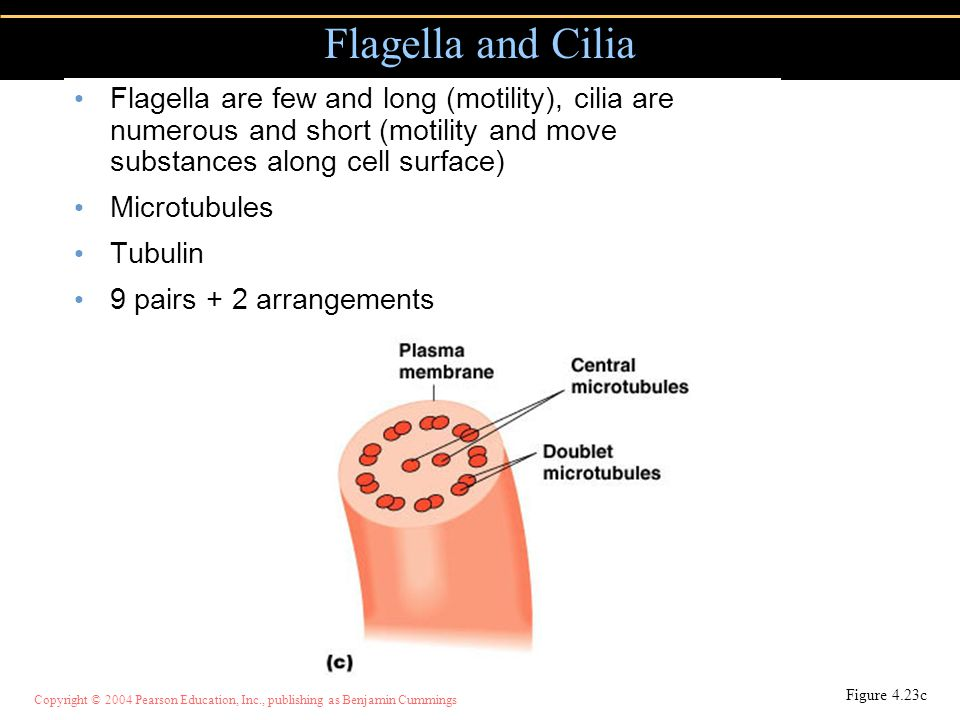 Flagella and Cilia Flagella are few and long (motility), cilia are numerous and short (motility and move substances along cell surface)