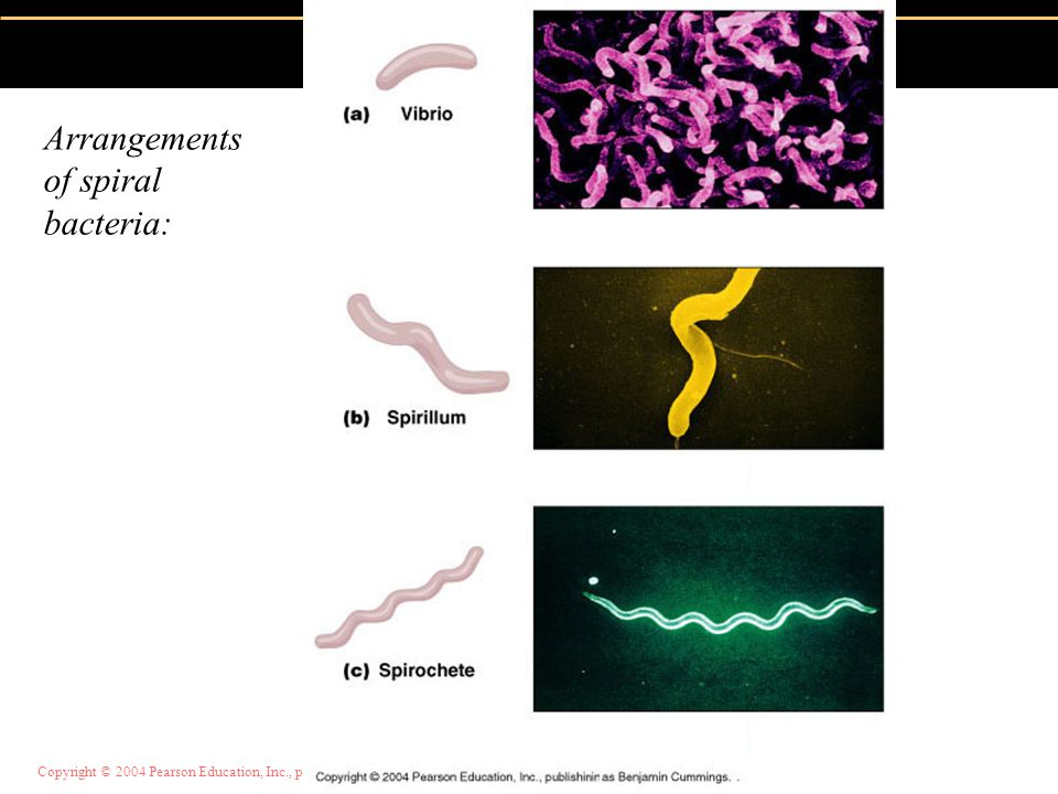 Arrangements of spiral bacteria: