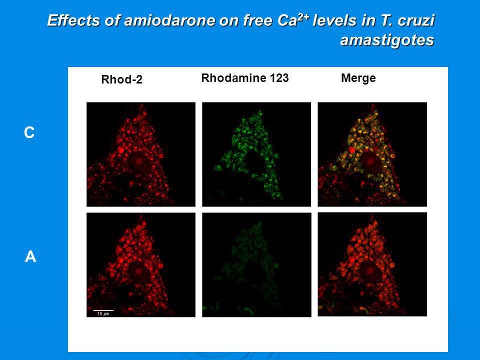 Effects of amiodarone on free Ca2+ levels in T. cruzi amastigotes