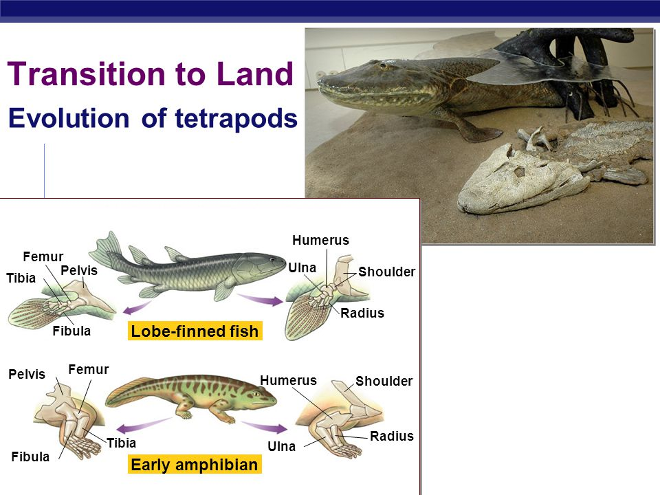 Transition to Land Evolution of tetrapods Lobe-finned fish