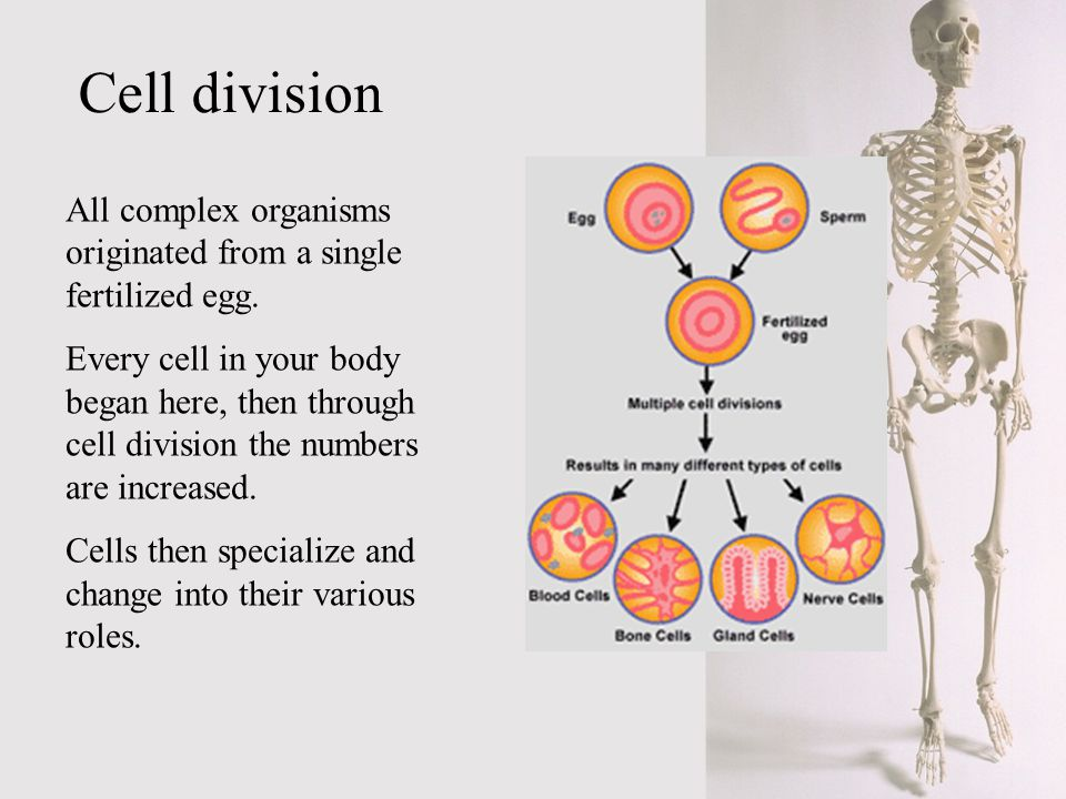 Cell division All complex organisms originated from a single fertilized egg.