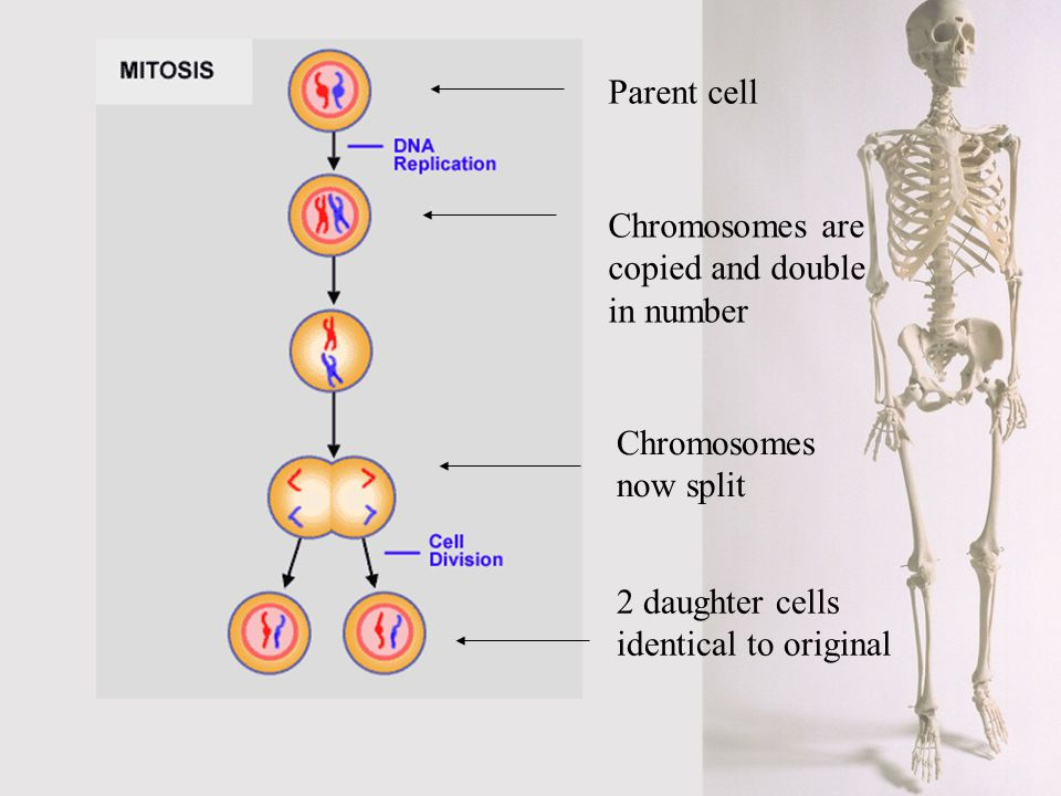 Parent cell Chromosomes are copied and double in number.