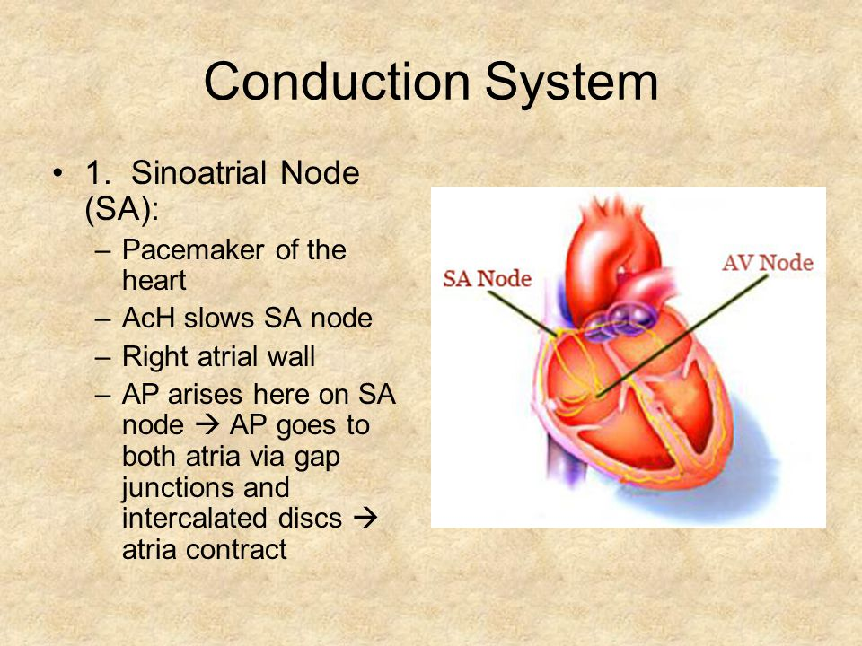 Conduction System 1. Sinoatrial Node (SA): Pacemaker of the heart
