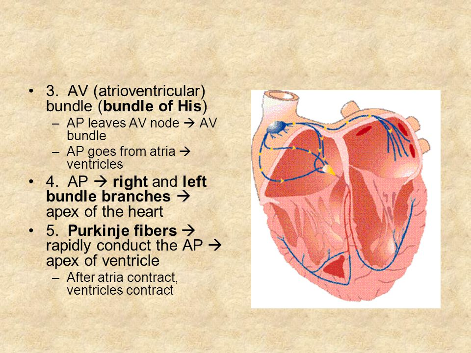 3. AV (atrioventricular) bundle (bundle of His)