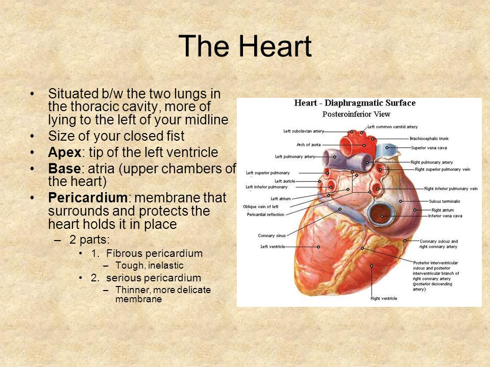 The Heart Situated b/w the two lungs in the thoracic cavity, more of lying to the left of your midline.