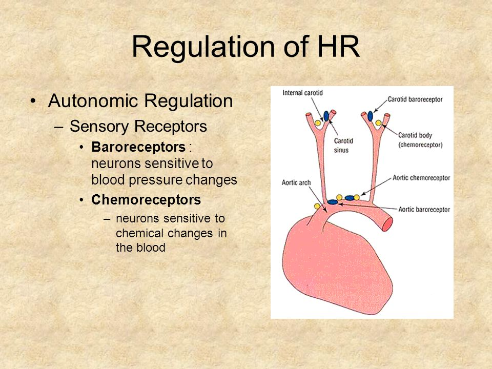 Regulation of HR Autonomic Regulation Sensory Receptors