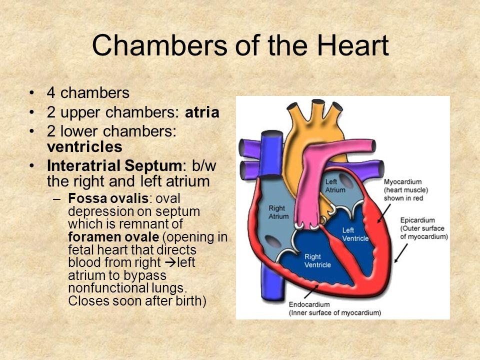 Chambers of the Heart 4 chambers 2 upper chambers: atria