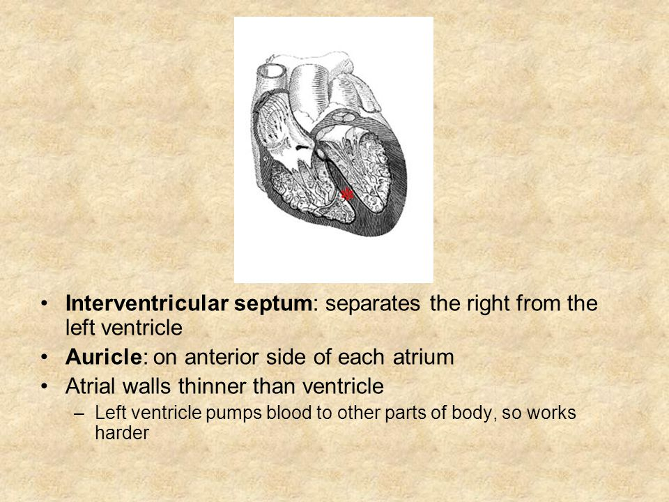 Interventricular septum: separates the right from the left ventricle