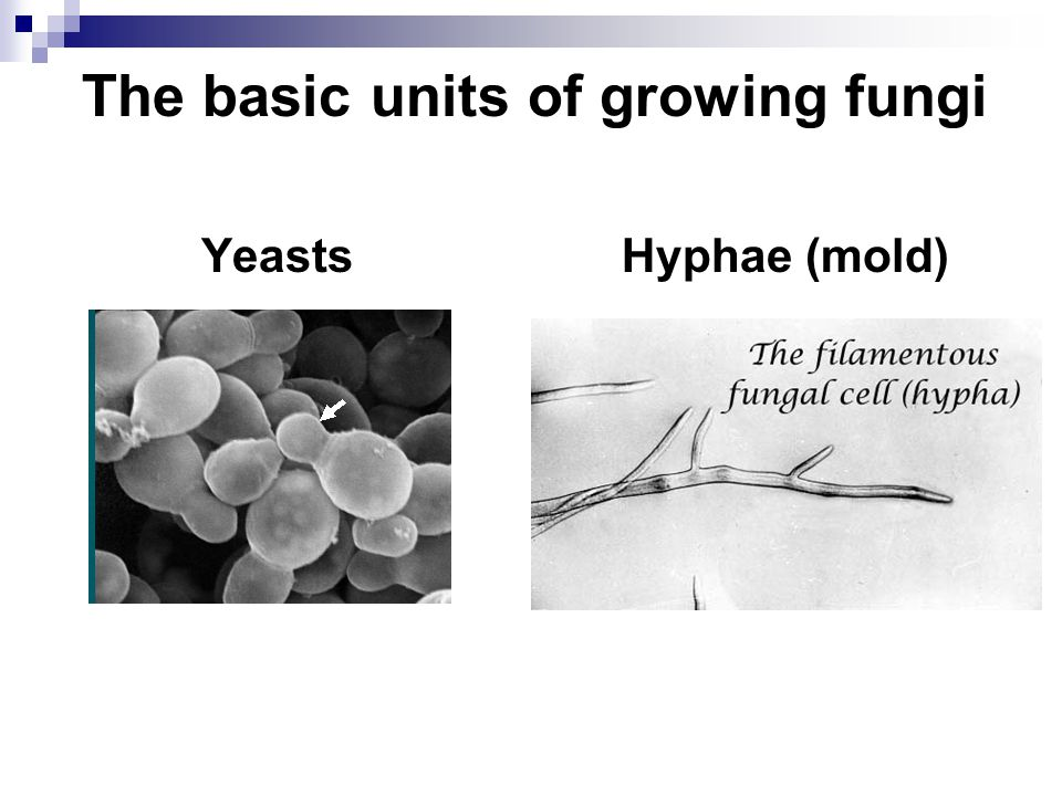 The basic units of growing fungi
