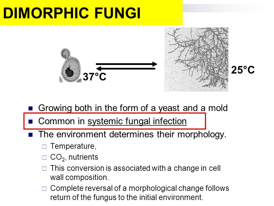 DIMORPHIC FUNGI 25°C. 37°C. Growing both in the form of a yeast and a mold. Common in systemic fungal infection.