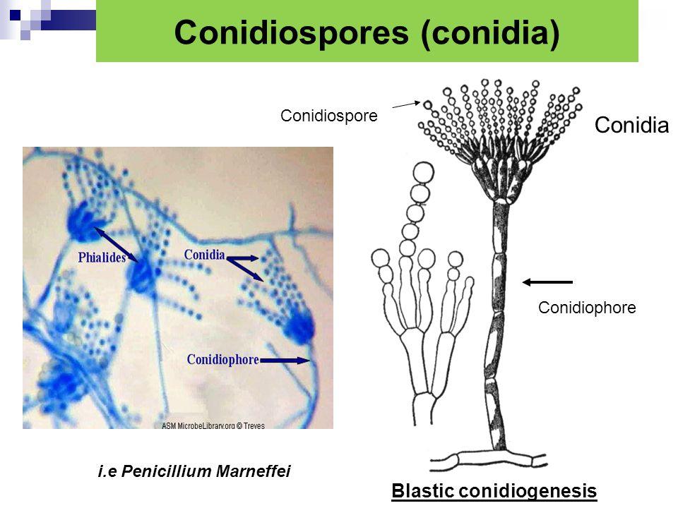 Conidiospores (conidia)