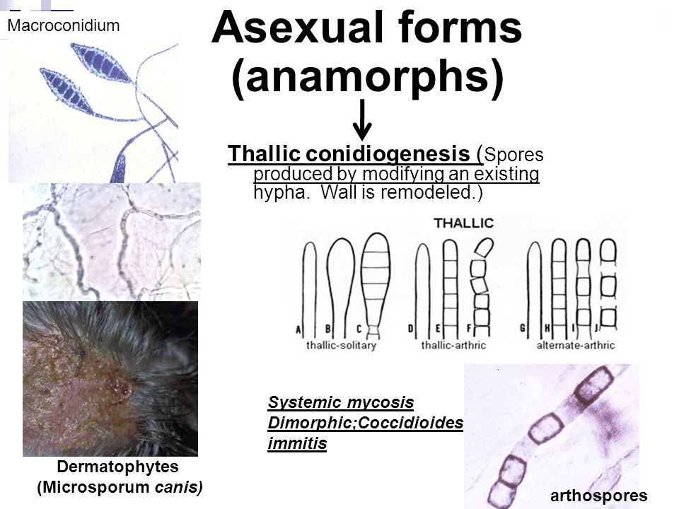 Asexual forms (anamorphs)