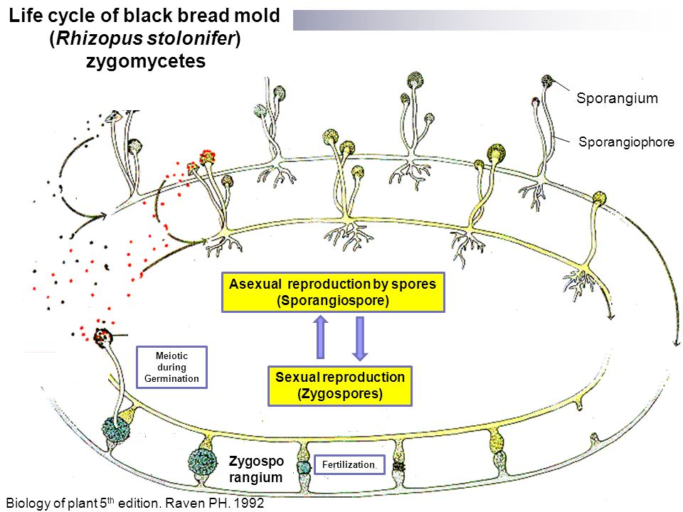 Life cycle of black bread mold (Rhizopus stolonifer) zygomycetes