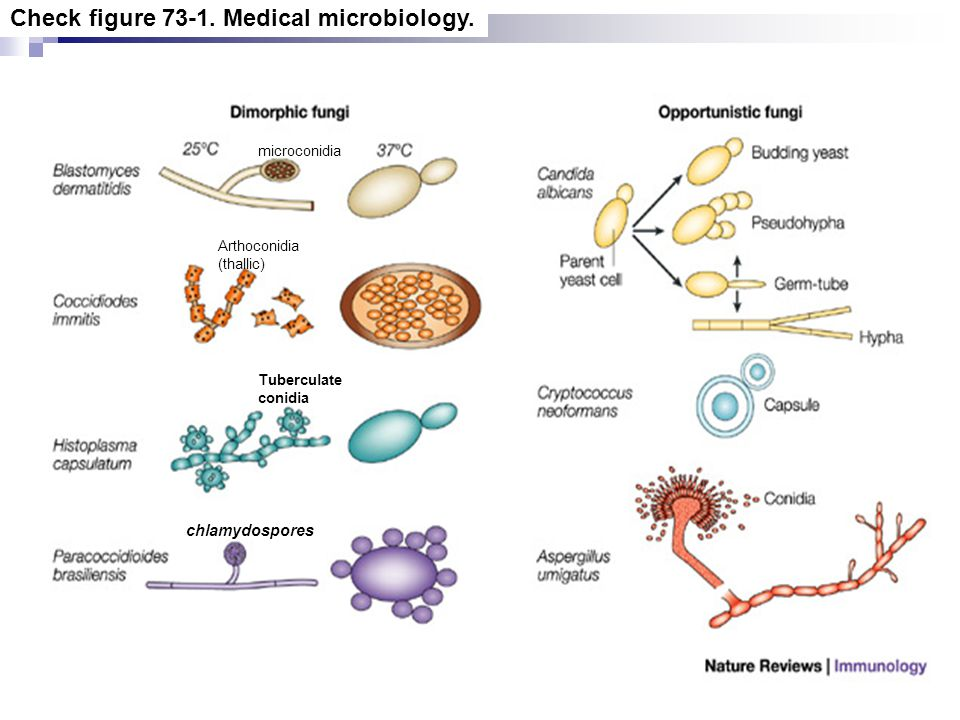 Check figure 73-1. Medical microbiology.