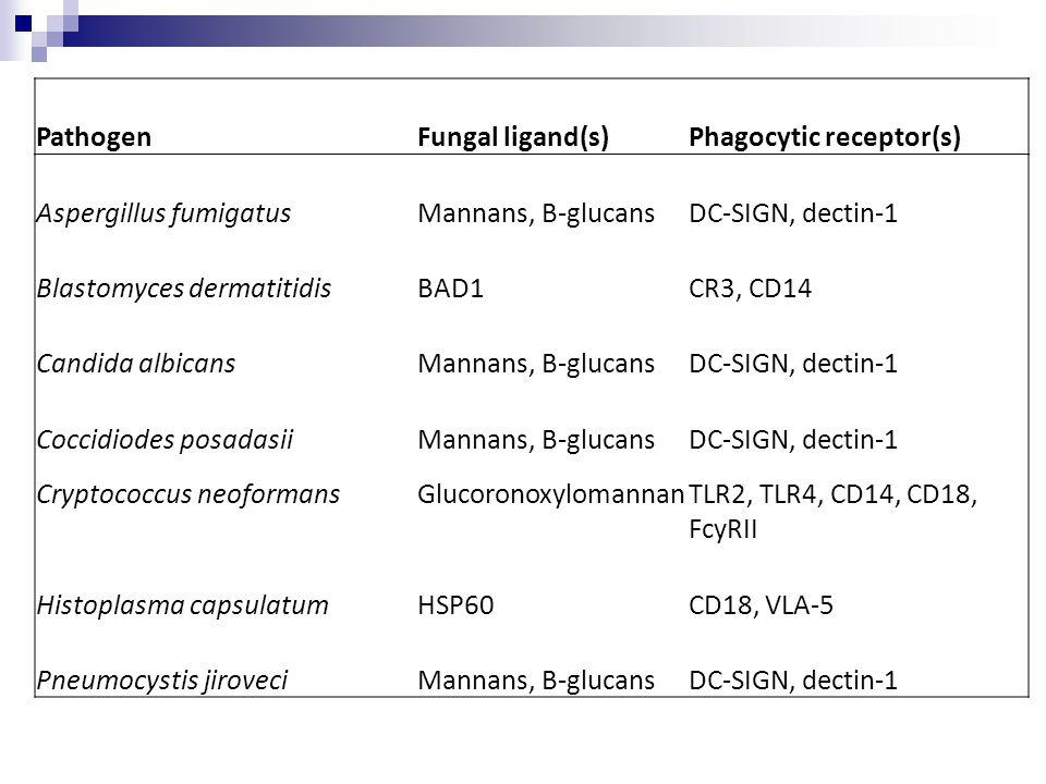 Phagocytic receptor(s) Aspergillus fumigatus Mannans, B-glucans
