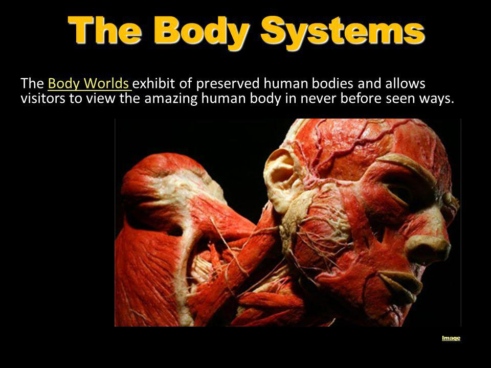 The Body Systems The Body Worlds exhibit of preserved human bodies and allows visitors to view the amazing human body in never before seen ways.
