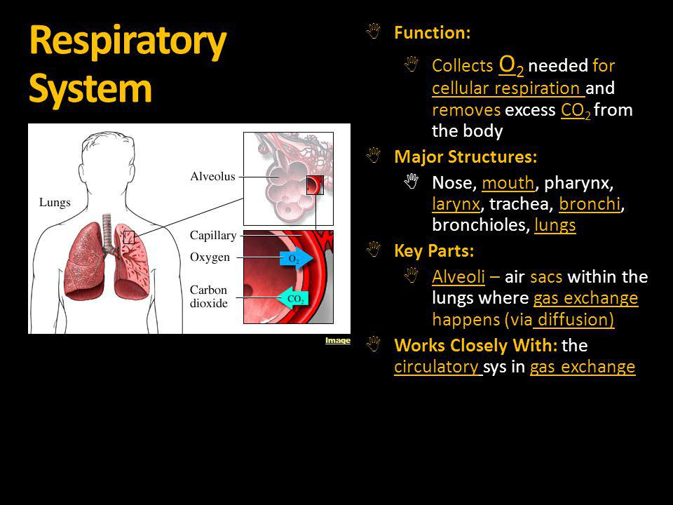 Respiratory System Function: