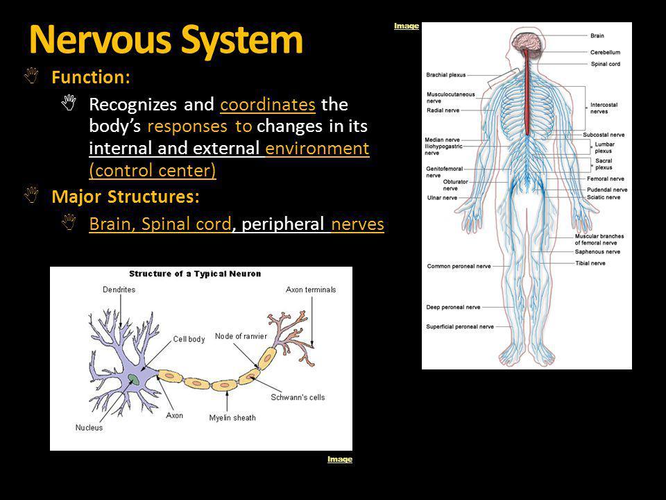 Nervous System Function: