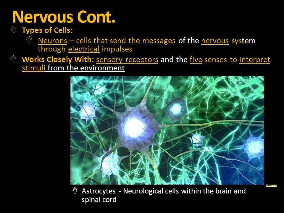Nervous Cont. Types of Cells: