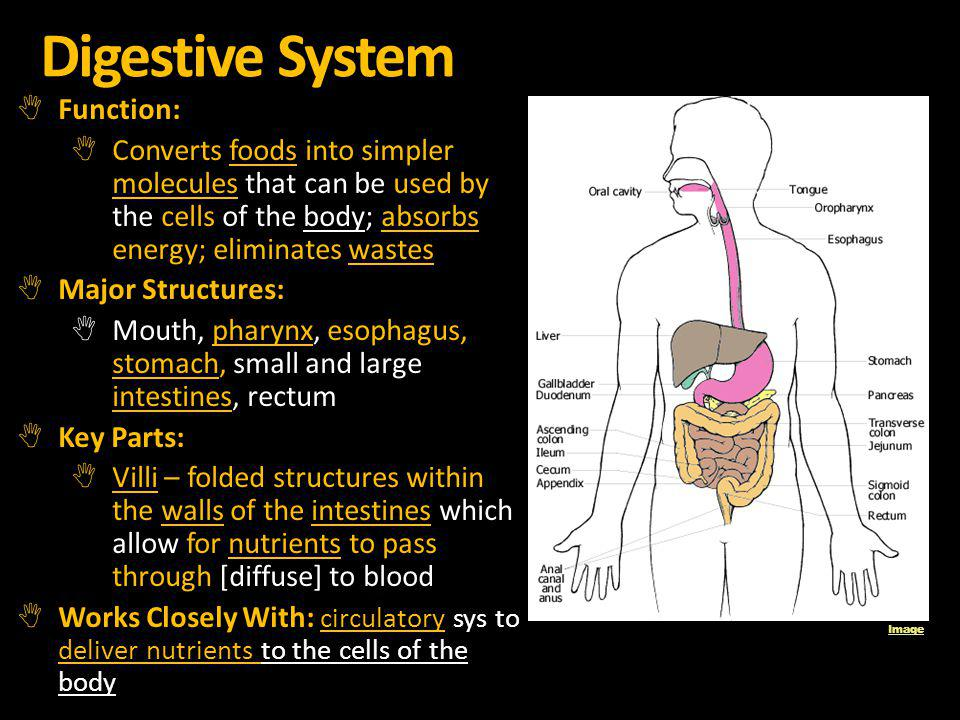 Digestive System Function: