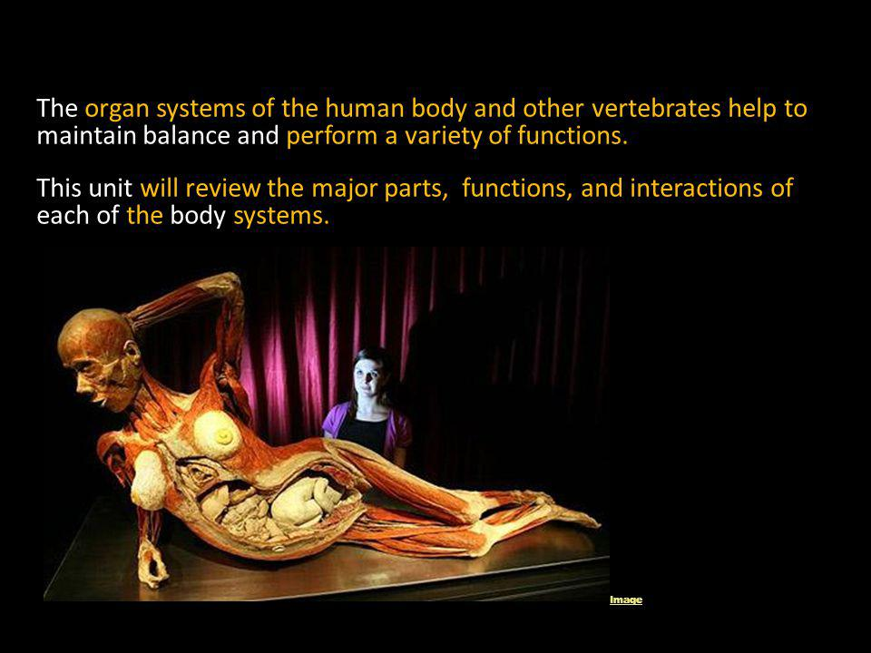 The organ systems of the human body and other vertebrates help to maintain balance and perform a variety of functions.