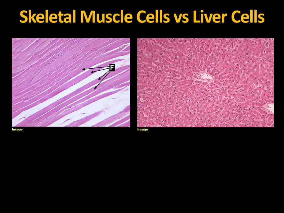 Skeletal Muscle Cells vs Liver Cells