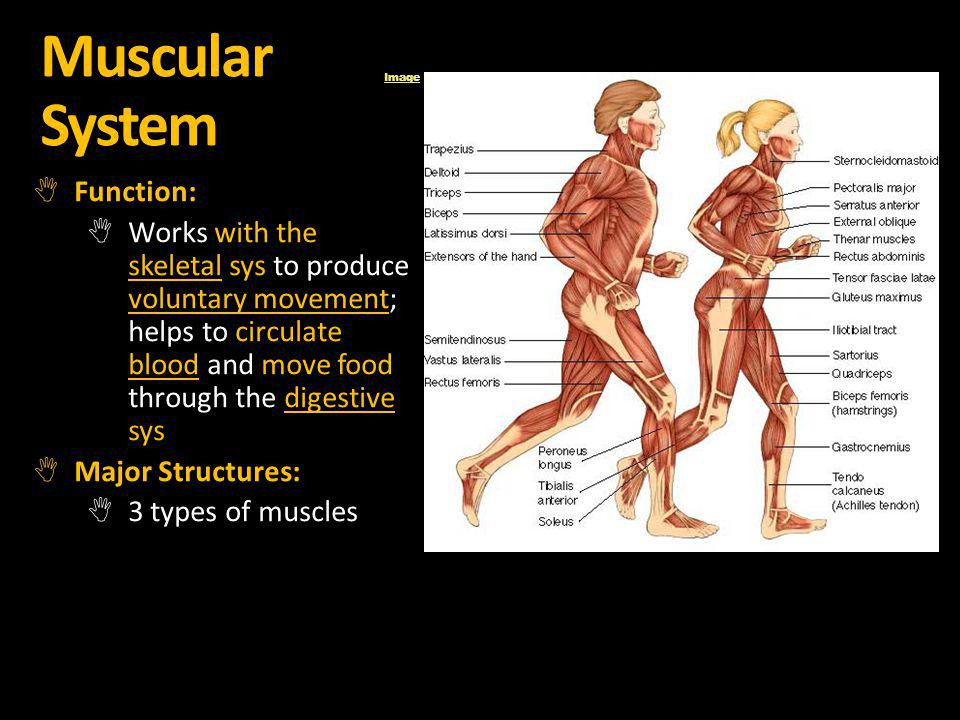 Muscular System Function: