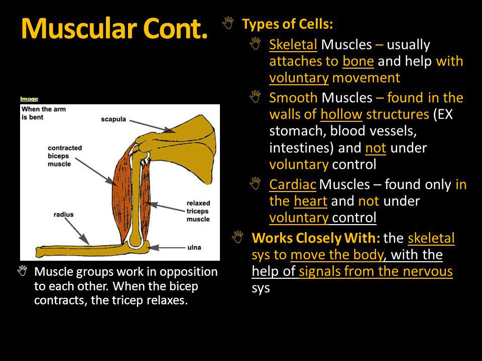 Muscular Cont. Types of Cells: