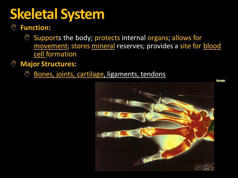 Skeletal System Function: