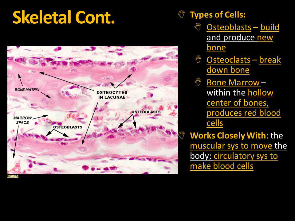 Skeletal Cont. Types of Cells: