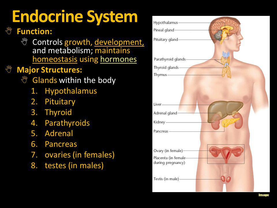 Endocrine System Function: