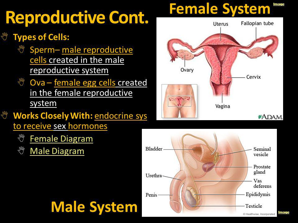 Reproductive Cont. Female System Male System Types of Cells:
