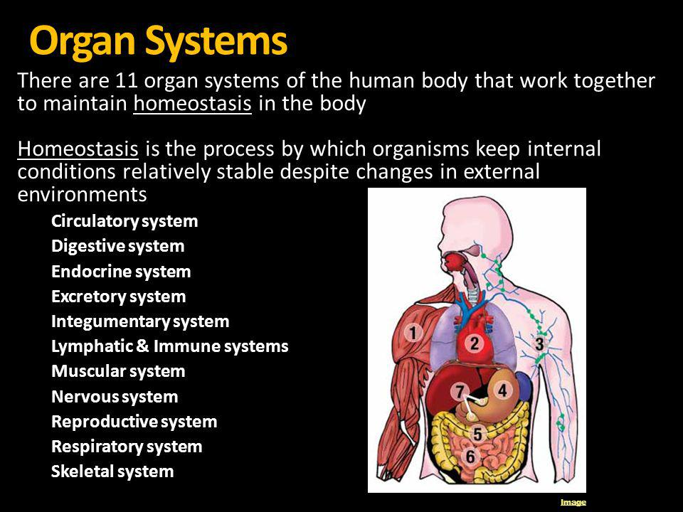 Organ Systems There are 11 organ systems of the human body that work together to maintain homeostasis in the body.