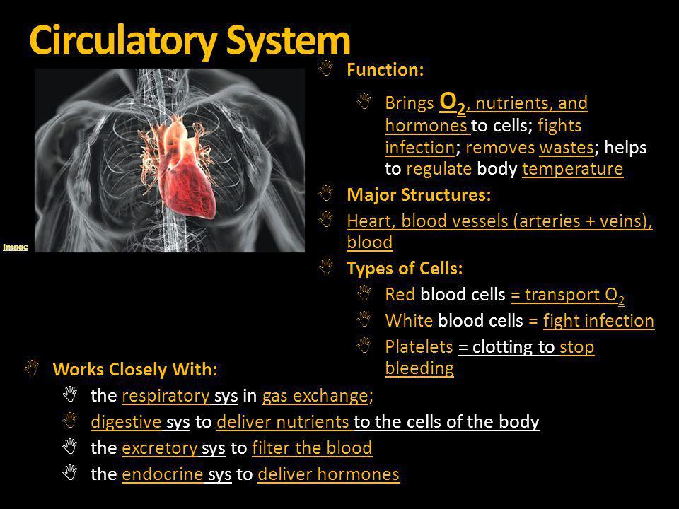 Circulatory System Function: