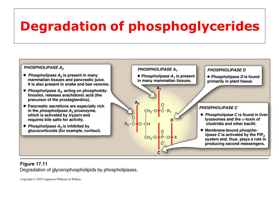 Degradation of phosphoglycerides