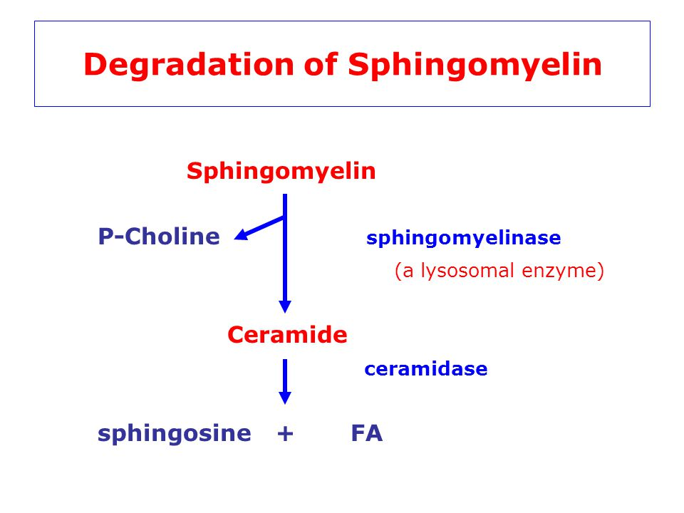 Degradation of Sphingomyelin