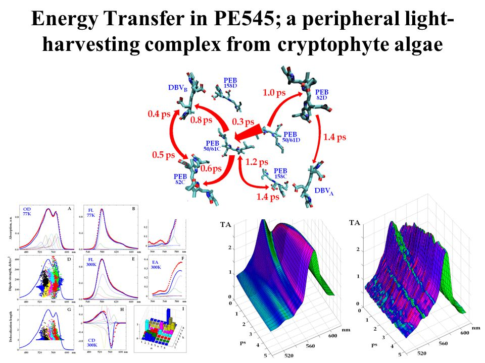 Energy Transfer in PE545; a peripheral light-harvesting complex from cryptophyte algae