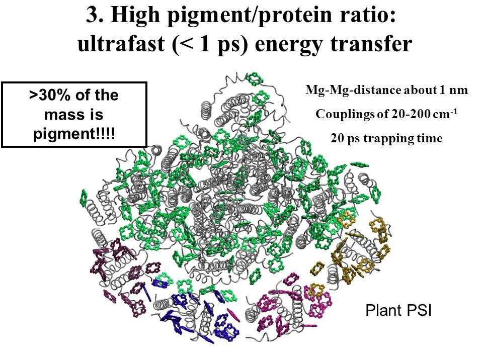 3. High pigment/protein ratio: ultrafast (< 1 ps) energy transfer