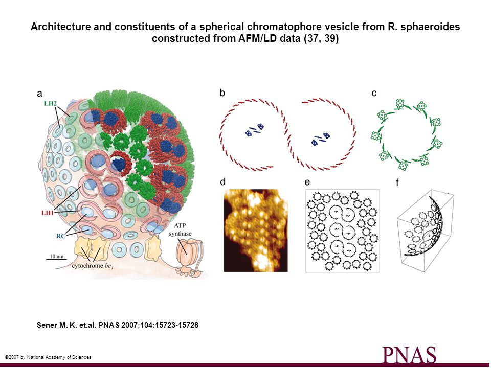 Architecture and constituents of a spherical chromatophore vesicle from R. sphaeroides constructed from AFM/LD data (37, 39)