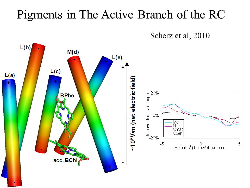 Pigments in The Active Branch of the RC