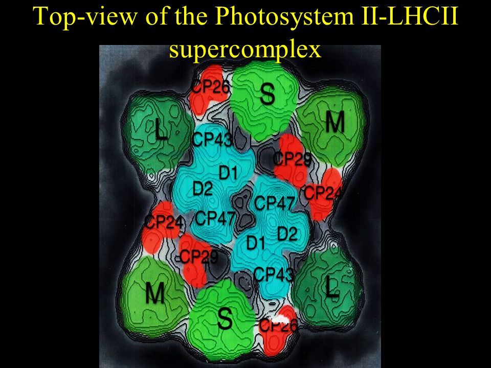 Top-view of the Photosystem II-LHCII supercomplex