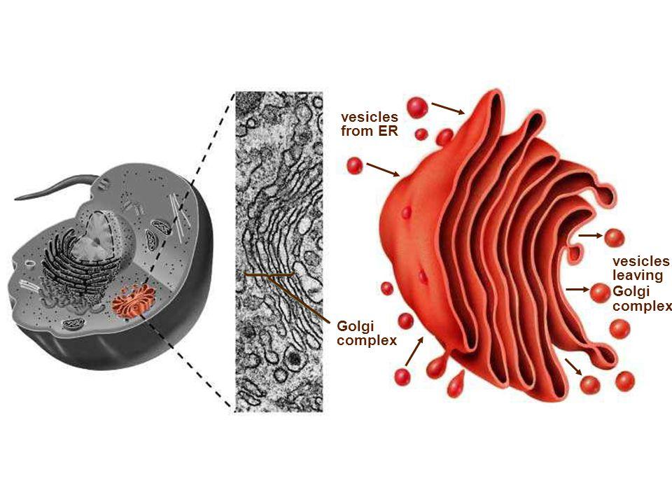 vesicles from ER vesicles leaving Golgi complex Golgi complex